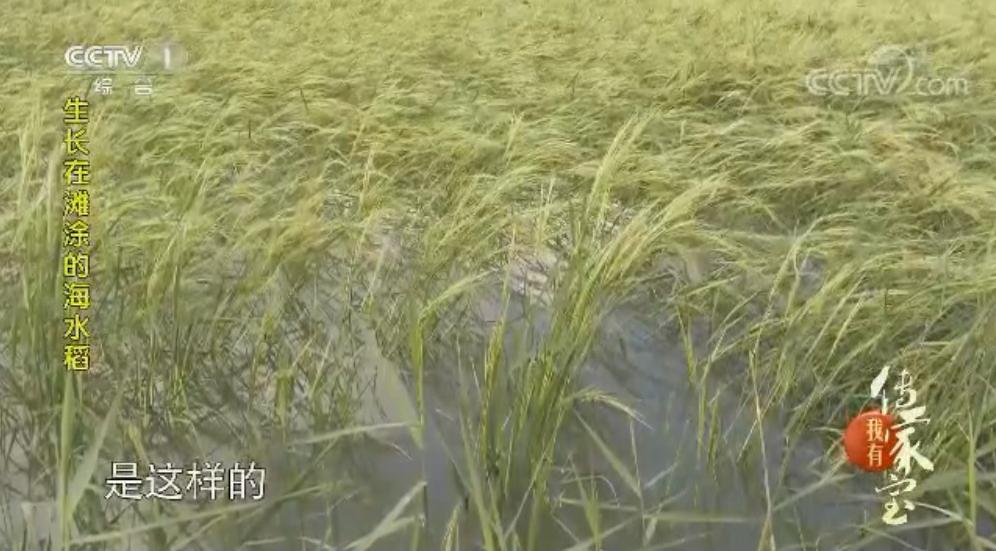 湛江海水稻